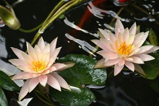 twin-lilies